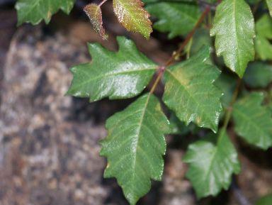 poisonoakr1.jpg